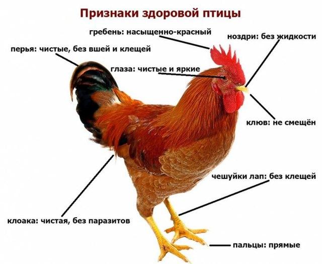 О лечении болезней кур и петухов в домашних условиях: симптомы, что делать