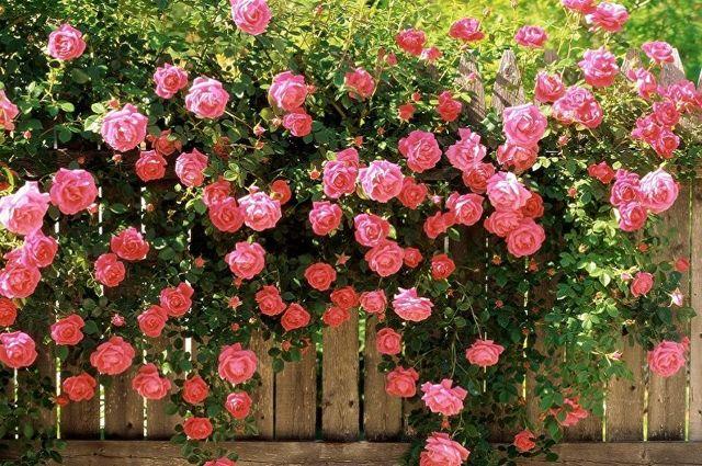 О розе the alnwick rose: описание и характеристики сорта английской розы