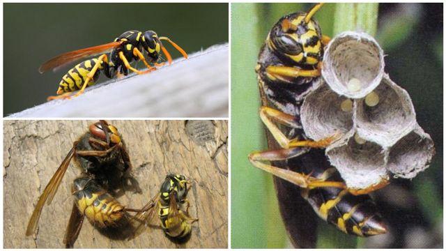 О матке осы: как выглядит и живет королева ос, размеры королевской особи