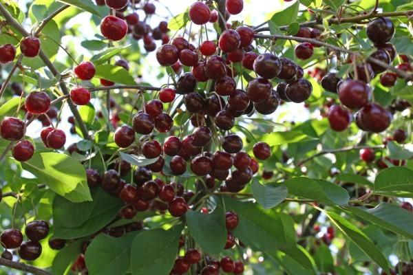 О вишне новелла: описание и характеристики сорта, уход и выращивание