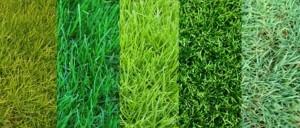 О лучших разновидностях травы для газонов: описание и характеристики