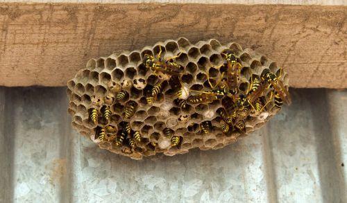 О пчеле и осе: чем отличаются, в чем разница во внешнем виде, кто больнее жалит
