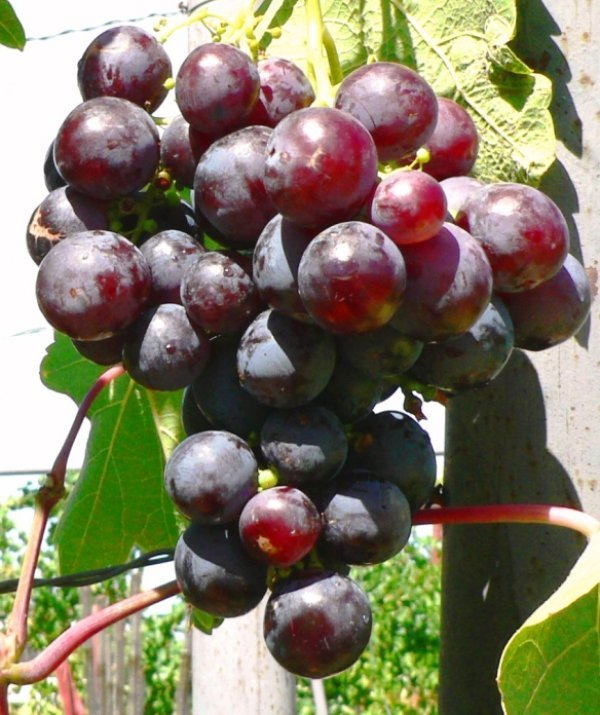 виноград рошфор описание сорта фото отзывы усыпить