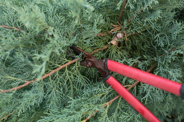 О можжевельнике блю эрроу: описание сорта, как посадить и ухаживать