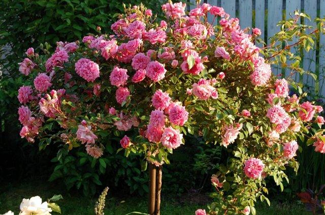 О посадке и уходе за штамбовой розой: как сделать штамбовую розу своими руками