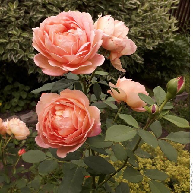 О розе голден селебрейшен (golden celebration): описание и характеристики