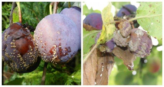 На какой год плодоносит слива после посадки, как заставить сливу плодоносить