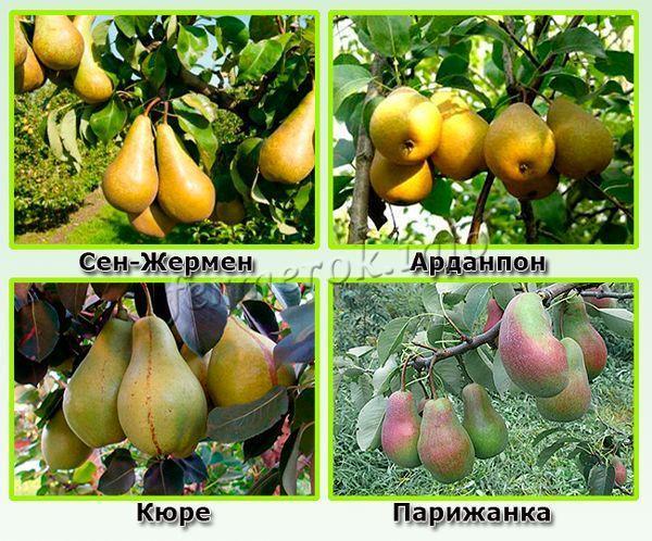 О зимних сортах груши: описание и характеристика, особенности выращивания