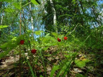 О клубнике лесной: как выглядит, чем отличается от садовой культуры и земляники