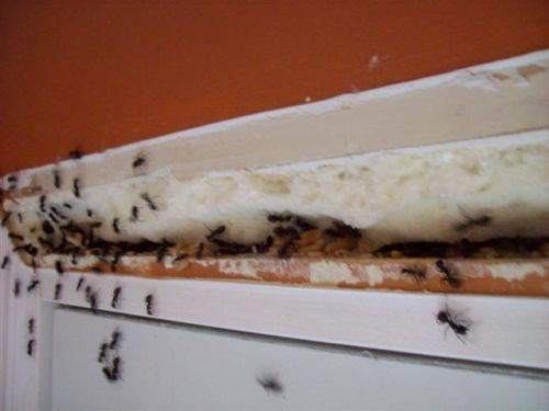 О борьбе с муравьями в квартире: способы и средства, как избавиться