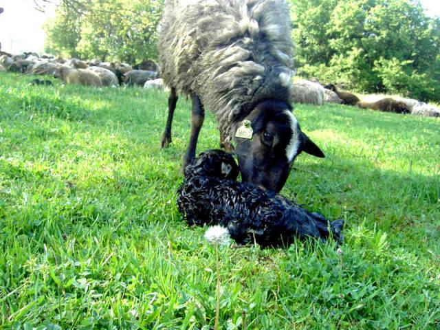 О разведении овец: в домашних условиях для начинающих, как разводить на мясо