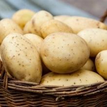 О породе кур синь синь дянь: описание и характеристика, какие яйца несут
