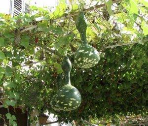 О выращивании лагенарии в домашних условиях: проращивание семян, уход