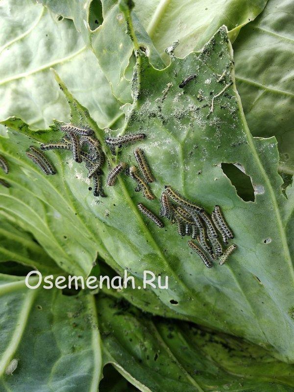 О июньской капусте: характеристика и описание раннего сорта, когда сажать