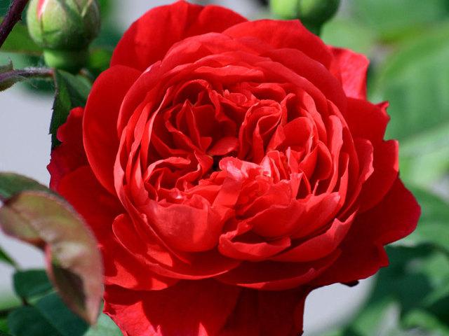 О розе benjamin britten: описание и характеристики сорта английской розы