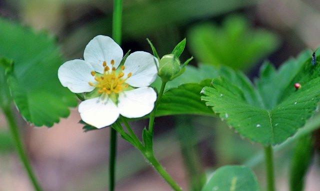 О подкормке клубники борной кислотой, йодом, марганцовкой во время цветения