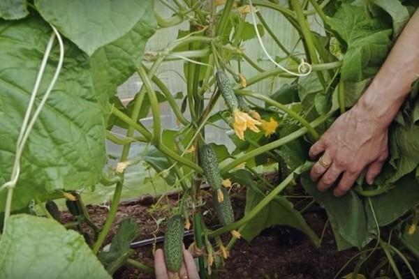 О выращивании лучших самоопыляемых сортов огурцов в открытом грунте