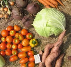 О выращивании брюссельской капусты: как правильно высаживать рассаду