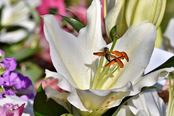 О посадке и уходе за лилиями в открытом грунте (как сажать и размножать лилии)