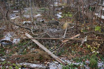 О стелющейся яблоне: посадка и уход за стланцевым деревом для начинающих