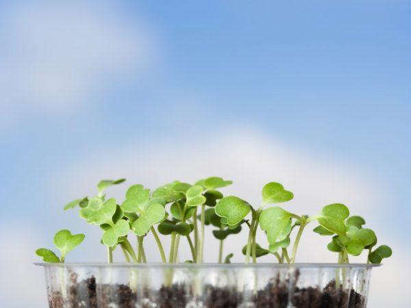 О высадке капусты в открытый грунт в подмосковье, когда сажать рассаду