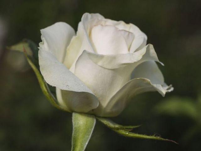 О розе wow: описание и характеристики, уход и выращивание чайно гибридной розы