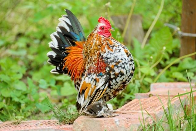 О карликовых курах: описание и характеристика, особенности декоративных птиц