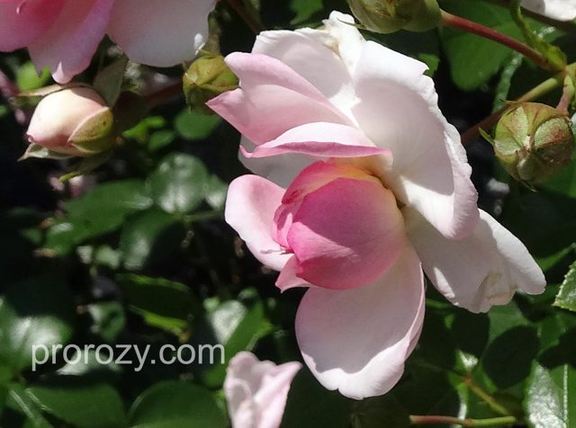 О розе жасмина (jasmina): описание и характеристики сорта плетистой розы ясмина