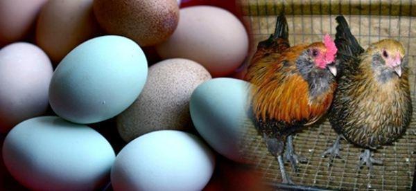 О курах араукана: характеристики породы, разведение, содержание поголовья
