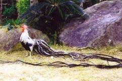 О курах феникс : характеристики породы, разведение, содержание поголовья