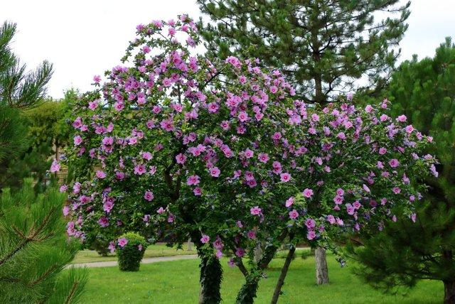О гибискусе древовидном: описание сорта, как посадить и ухаживать