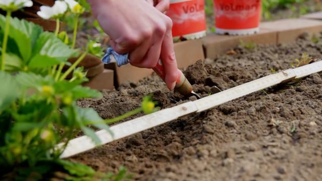 О землянике царица: описание и характеристики сорта, посадка, уход, выращивание
