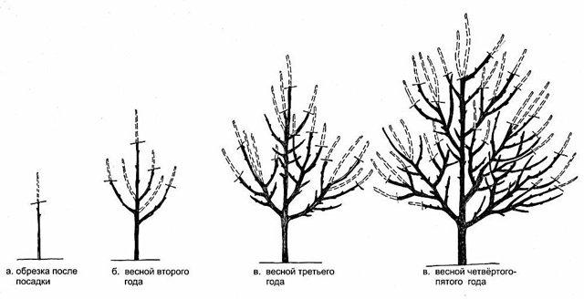 О вишне чернокорка: характеристика и описание сорта, выращивание и уход