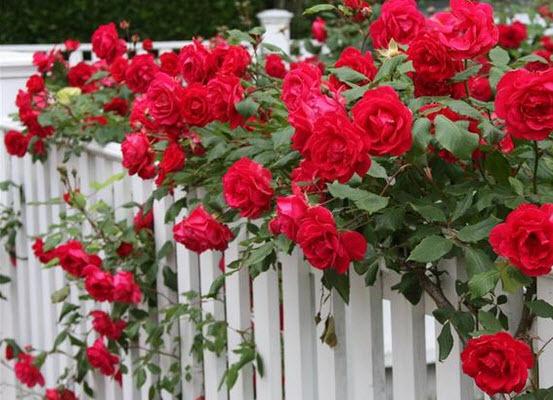 О подкормке роз: чем удобрять розы для обильного цветения и хорошего роста