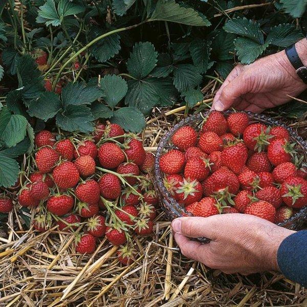 О лучших сортах клубники для средней полосы россии: ранних, крупных, урожайных