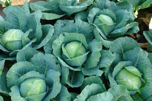 О капусте ринда, характеристики сорта, сроки сбора урожая, выращивание и уход