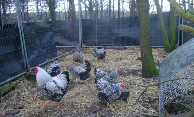 О породе кур виандот: описание и характеристика, как отличить пол цыпленка