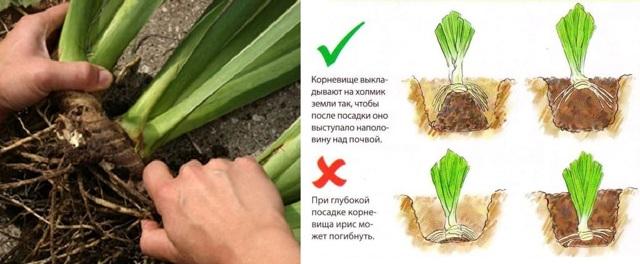 О пересаживании ирисов после цветения (когда можно рассаживать и как правильно)