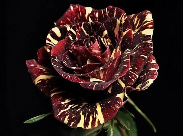 О необычных розах: самые экзотические и редкие сортовые цветы мира
