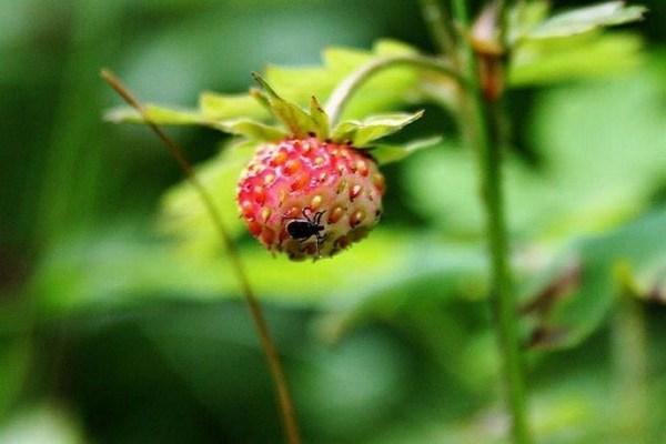 О земляничном клеще на клубнике: как бороться, чем обработать во время цветения