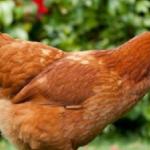О курах хайсек: характеристики породы, разведение, содержание поголовья