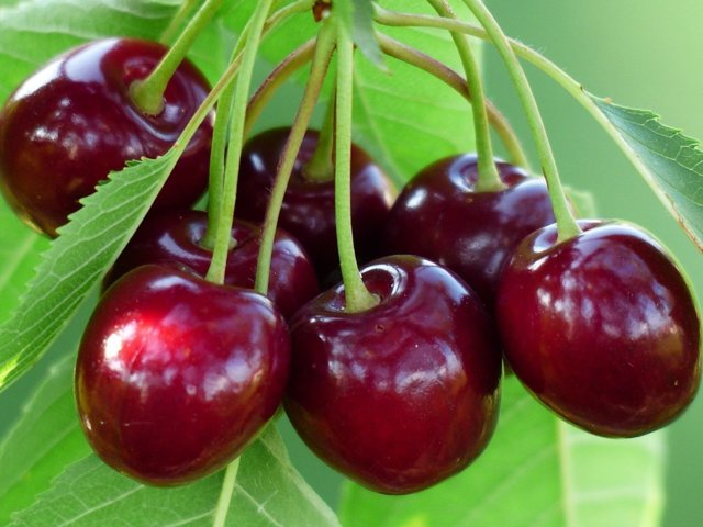 О черешне веда: описание и характеристики сорта, посадка, уход, выращивание