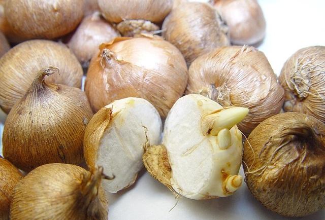 О выкапывании и высаживании луковиц крокуса в открытом грунте после цветения