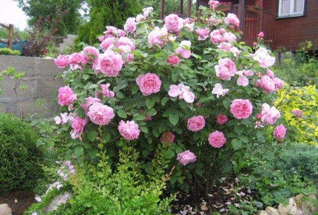 О розе мэри роуз (mary rise): описание и характеристики парковой розы