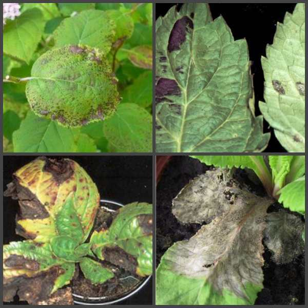 О причинах плохого роста гортензии: почему не растет и не цветет растение