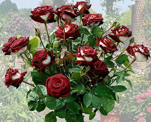 О розе osiria: описание и характеристики, выращивание сорта чайно гибридной розы