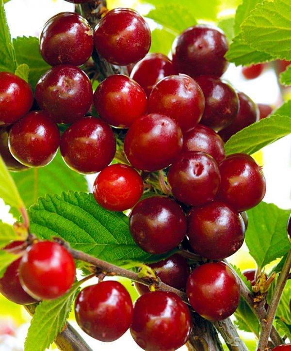 О сортах вишни для сибири: описание и характеристики, посадка, борьба с вредителями