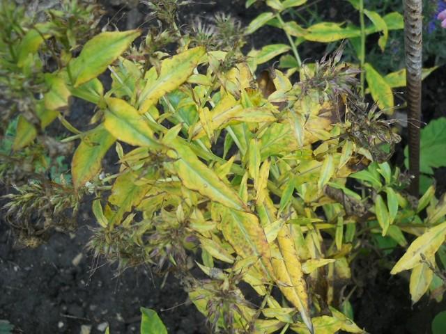 О болезнях флоксов (желтеют и сохнут нижние листья): что делать, чем лечить