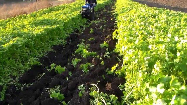 О посадке сидератов под томаты весной в теплице: что сеять, фацелия, горчица