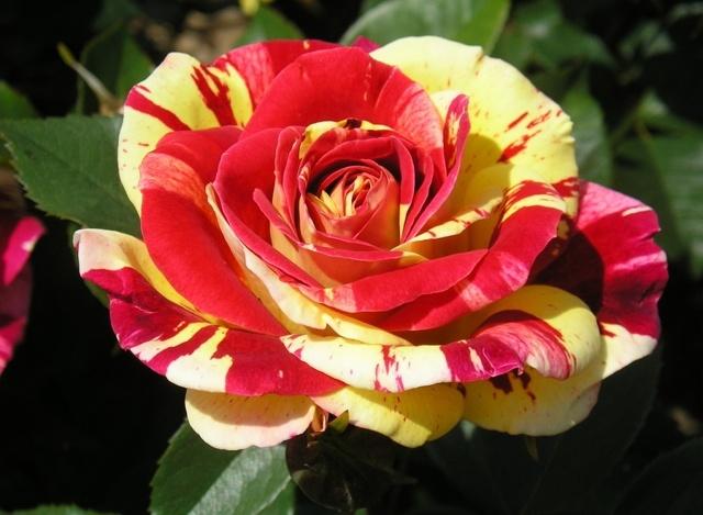 О посадке китайской розы в домашних условиях семенами и отростками